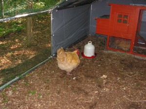 Buff Orpington Cock